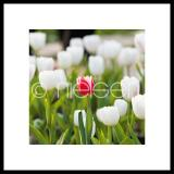 "Thumbnail von Gerahmtes Bild ""Tulips"" mit Alurahmen C2"