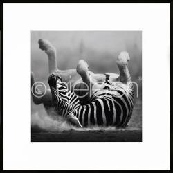 """Bilderrahmen Gerahmte Kunst """"Zebra lying"""" mit Alurahmen C2"""
