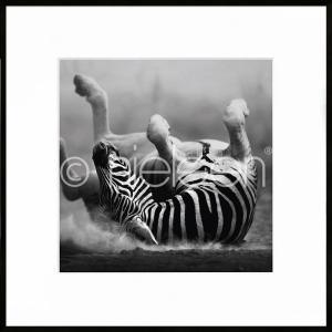 """Gerahmtes Bild """"Zebra lying"""" mit Alurahmen C2"""