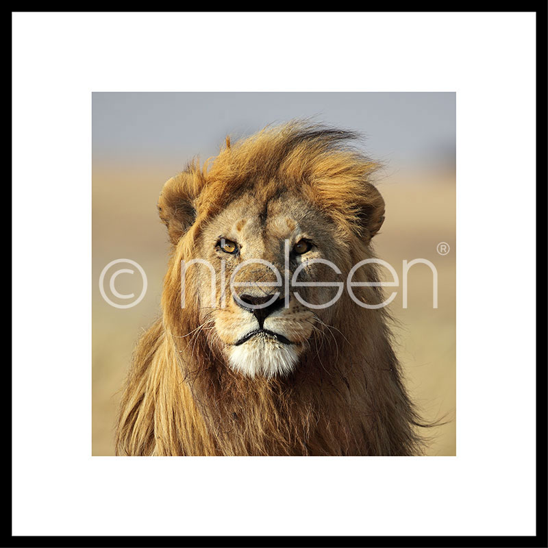 "Gerahmte Kunst ""Lion"" mit Alurahmen C2"