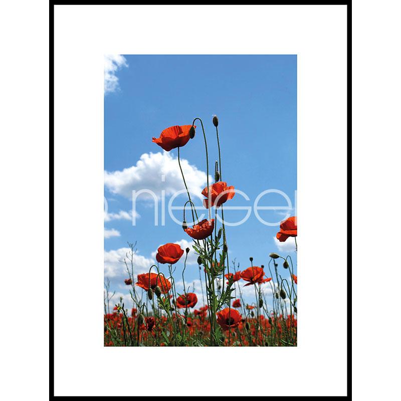 """Gerahmte Kunst """"Field of Poppy Flowers"""" mit Alurahmen C2"""