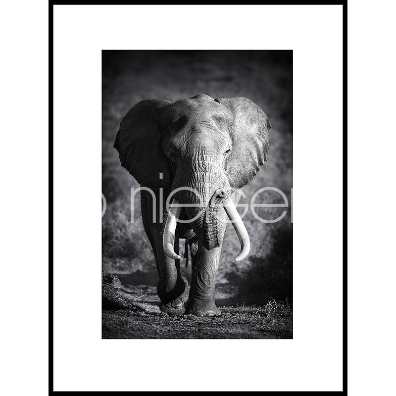 "Gerahmte Kunst ""Elephant black and white"" mit Alurahmen C2"