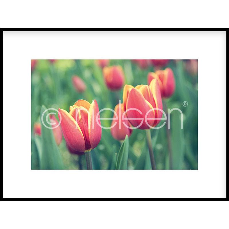 "Gerahmte Kunst ""Tulips"" mit Alurahmen C2"
