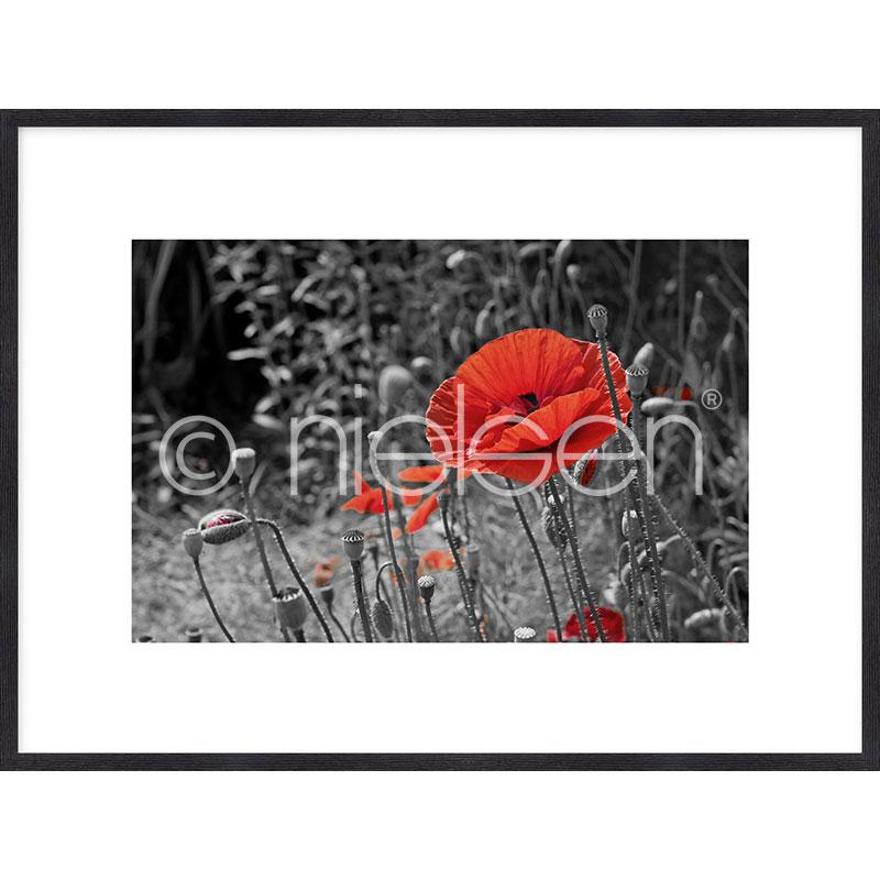"""Gerahmte Kunst """"Red Poppy Flower"""" mit Holzrahmen Quadrum"""