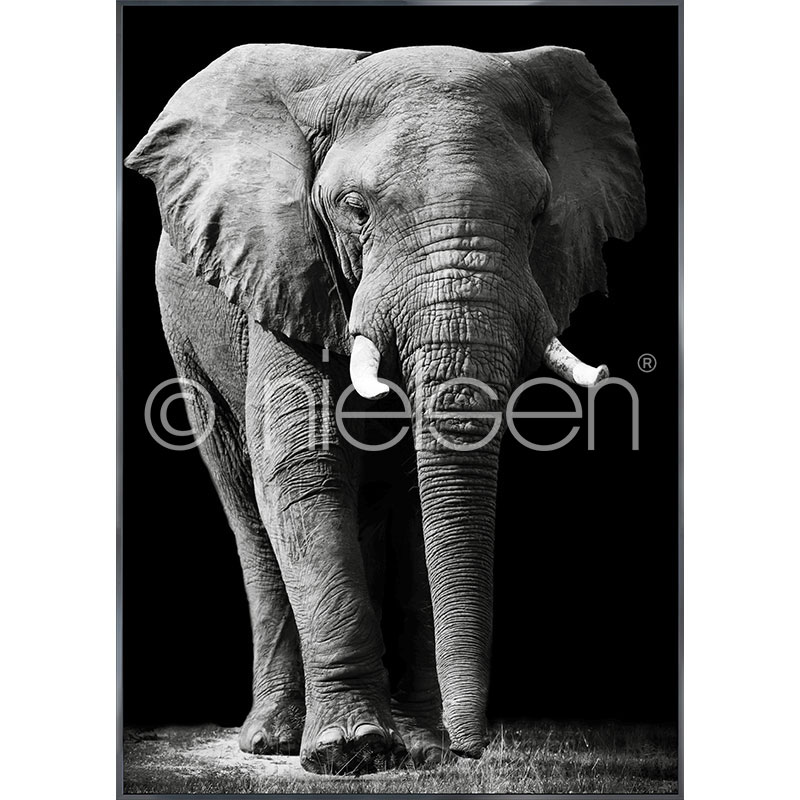 "Gerahmtes Bild ""Elephant black and white"" mit Alurahmen Alpha"